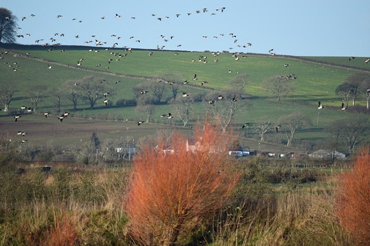 Caerlaverock geese