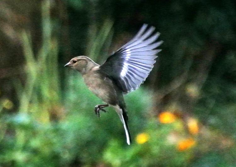 pocketcam chaffinch