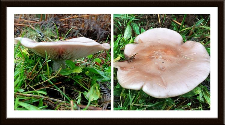 big fungus
