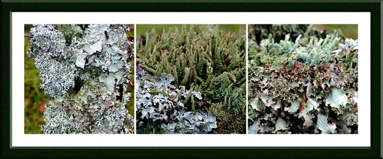 lichen fence posts