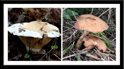 Caerlaverock fungi
