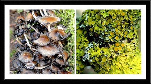 fungus lichen