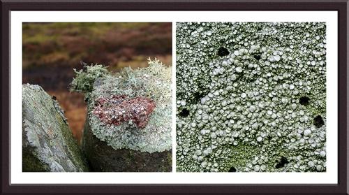 wall lichen