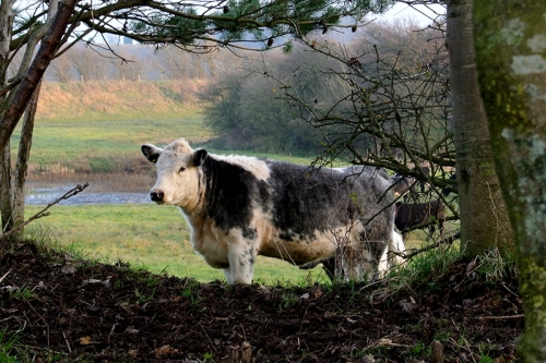 cow at Longtown