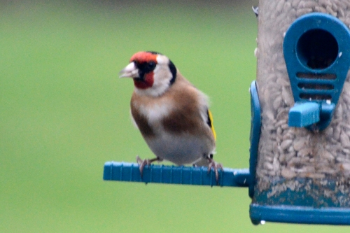 solo goldfinch