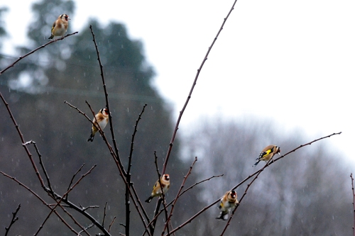goldfinches in plum tree