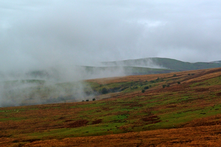 Ewes in mist