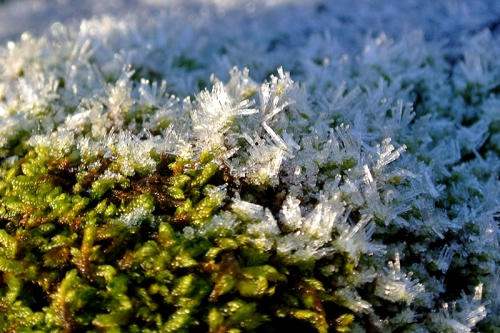 moss with frost