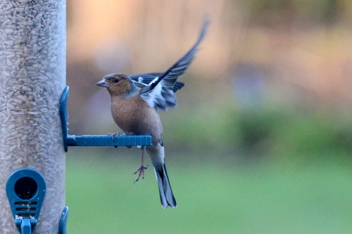 chaffinch with bad leg