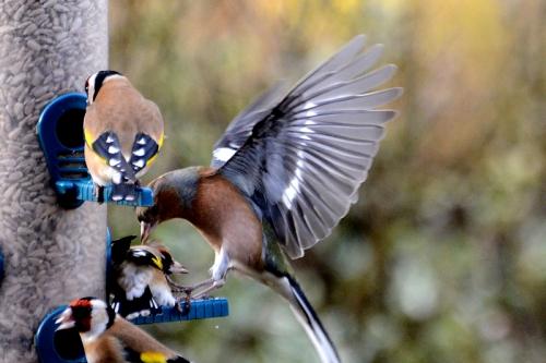 chaffinch kicking goldfinch