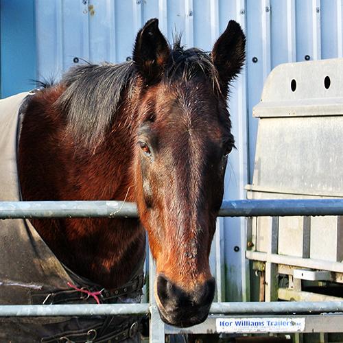 stubholm horse