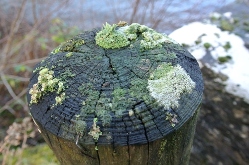 lichen on fence post