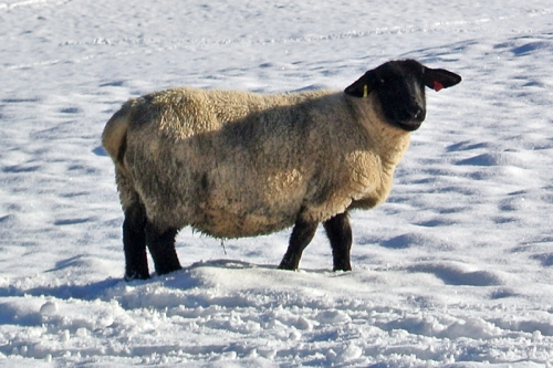 Stubholm sheep