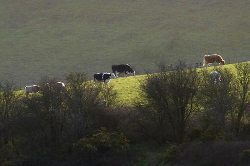 somerset cows
