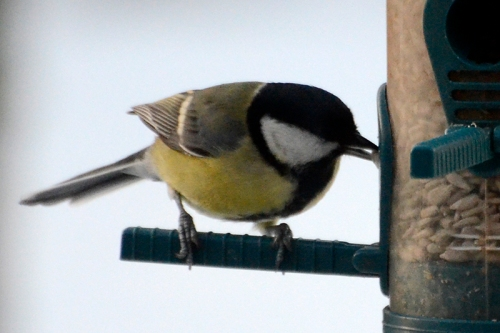 A great tit snatches a seed and is gone.