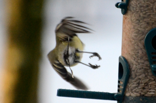 flying tit