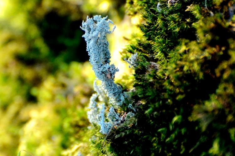 boulder lichen
