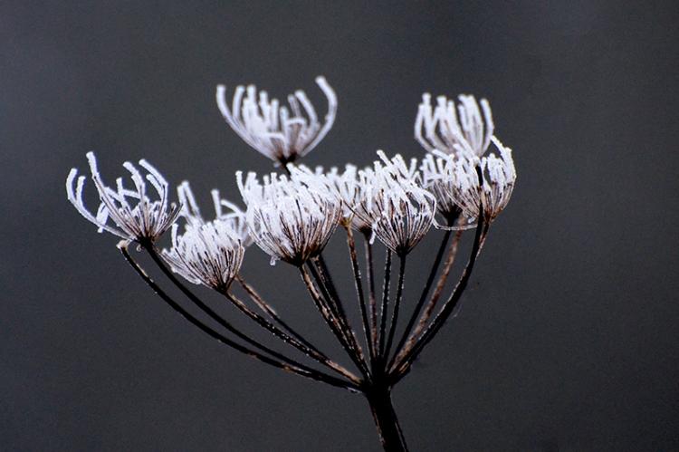 frosty plant head