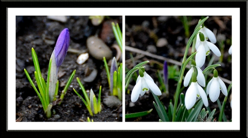 crocus and snowdrop