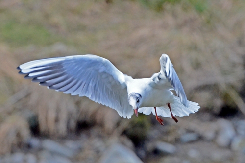 gull looking for bread