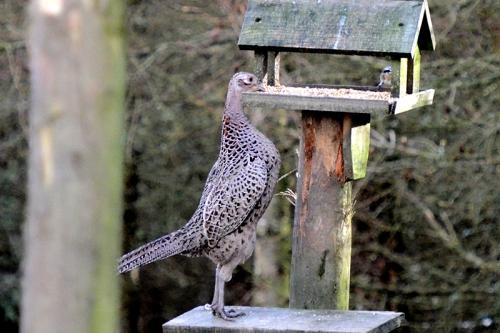 climbing pheasant