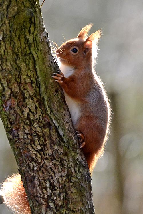 Eskrigg red squirrel