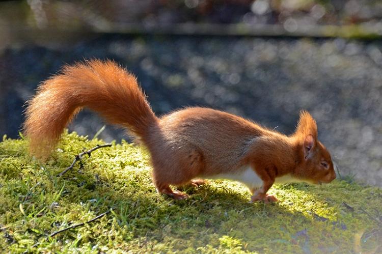 Eskdrigg red squirrel