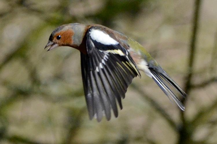 flying chaffinch Eskrigg