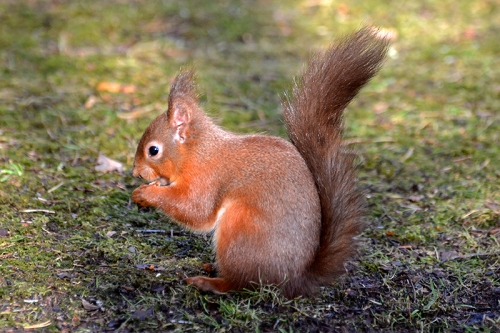 Eskrigg red squirrel
