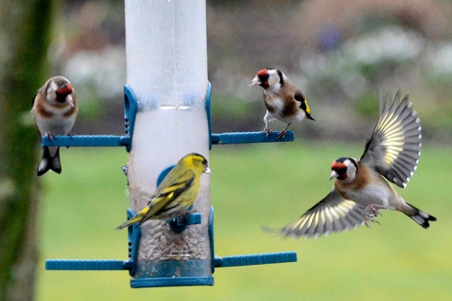 goldfinches, siskin