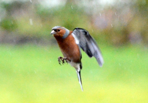 flying chaffinch in rain