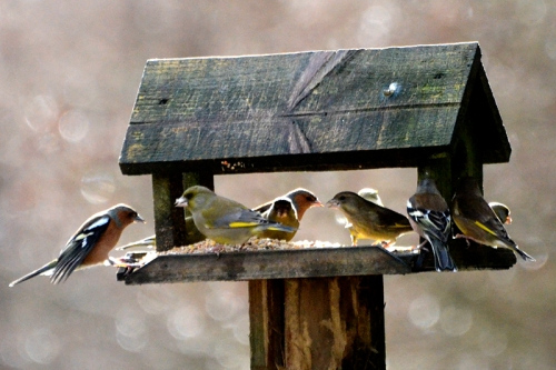 chaffinches and greenfinches