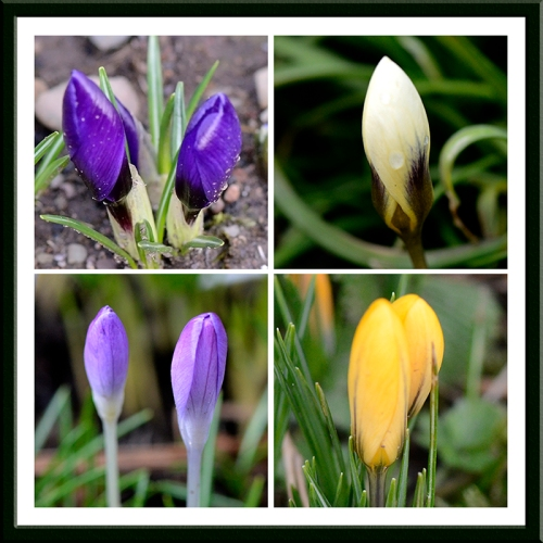 four crocuses