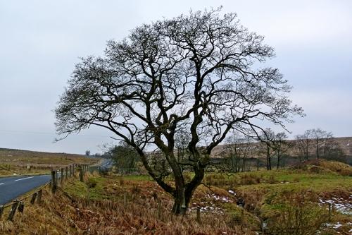 Wauchope tree