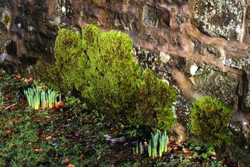 Daffs and moss