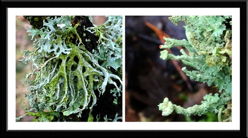 tree lichen