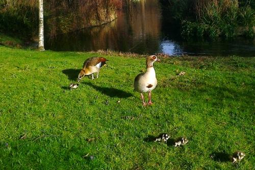 Regents park ducks