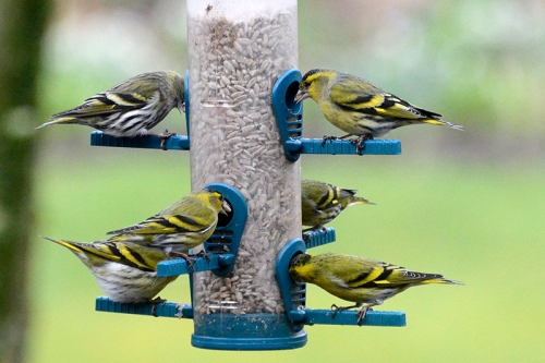 siskin six pack