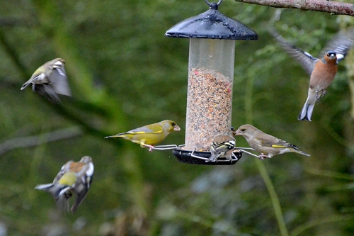 greenfinches and chaffinches