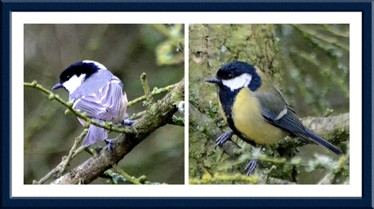 great tit and coal tit