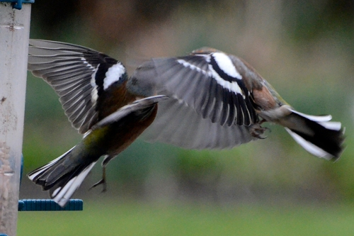 dancing chaffinches