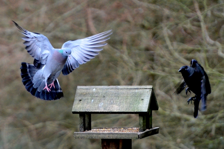 pigeon and jackdaw