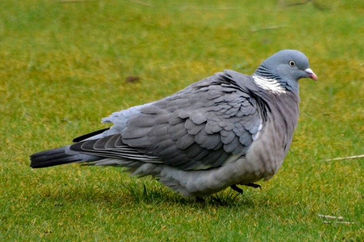 A rather ruffled pigeon.  I wonder if it had had to duck out of the hawk's way.
