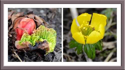 rhubarb and aconite
