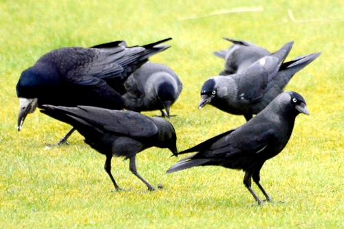 jackdaws and rooks