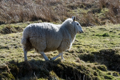 warbla sheep