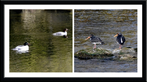 goosanders and oyster catchers