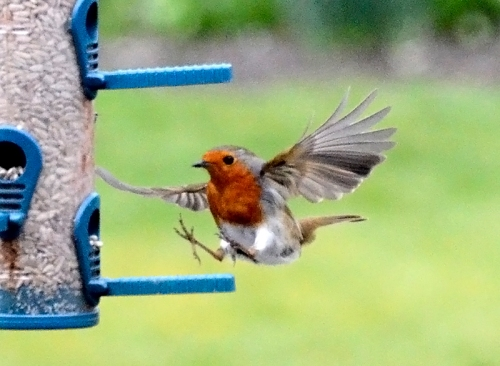 flying robin