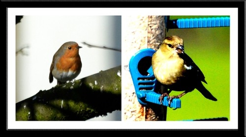 robin and chaffinch