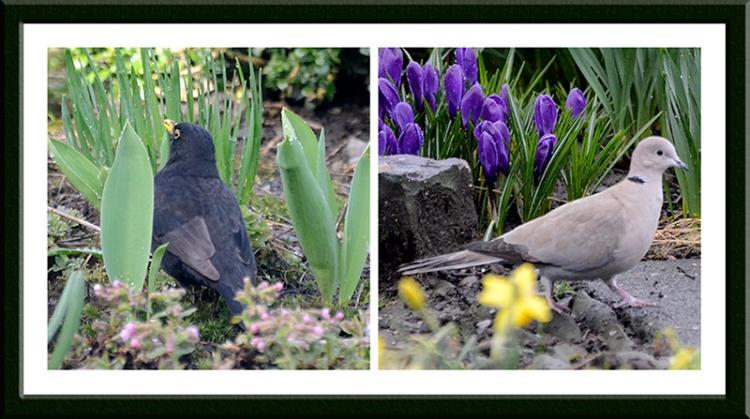 blackbird and dove